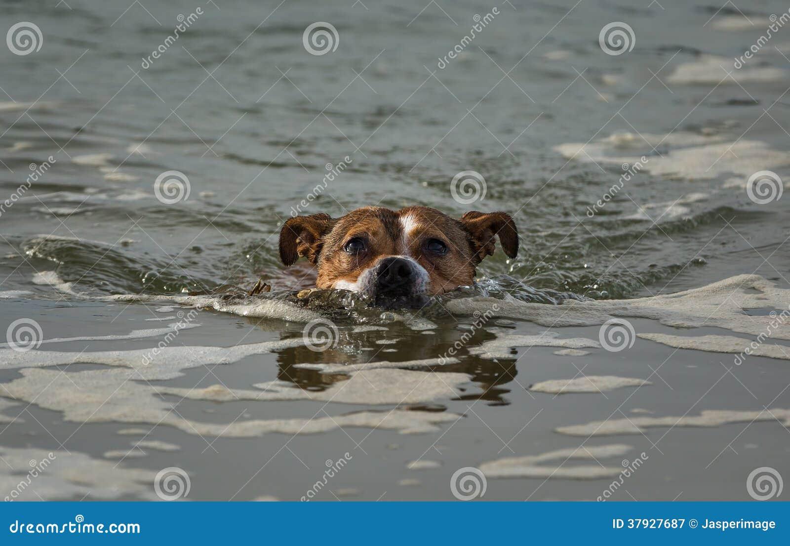 Заплывание терьера.