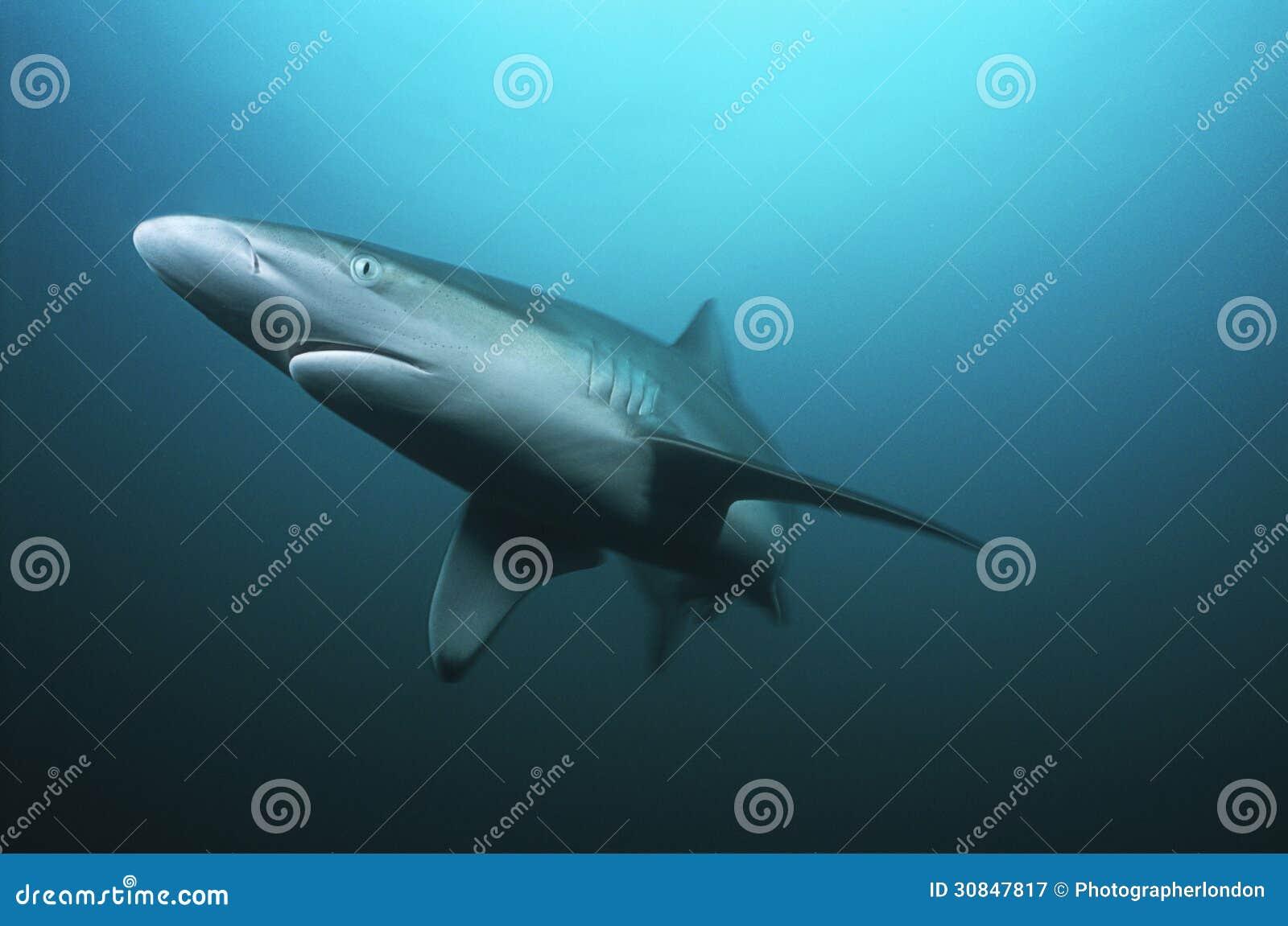 Заплывание тигровой акулы Южной Африки Индийского океана мелководья Aliwal (cuvieri Galeocerdo) в океане
