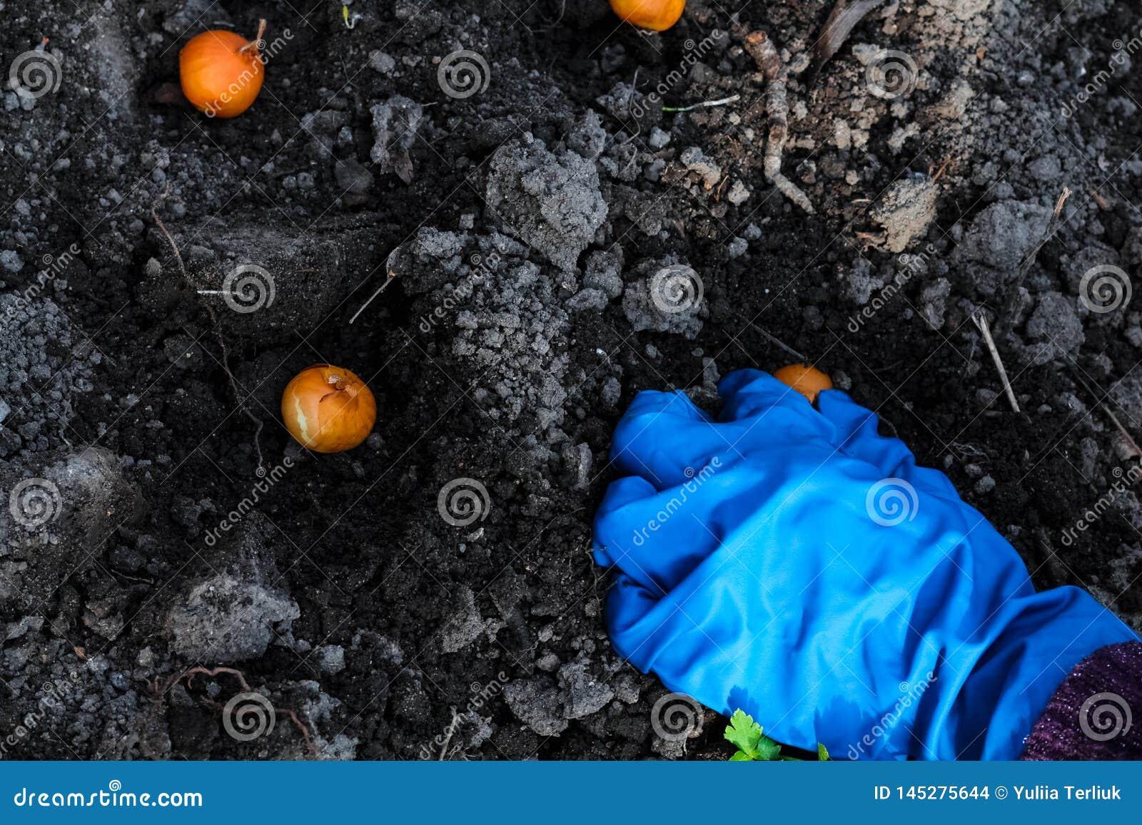Засаживать рук женщины луки в кроватях сада Садовничать для того чтобы работать весной время