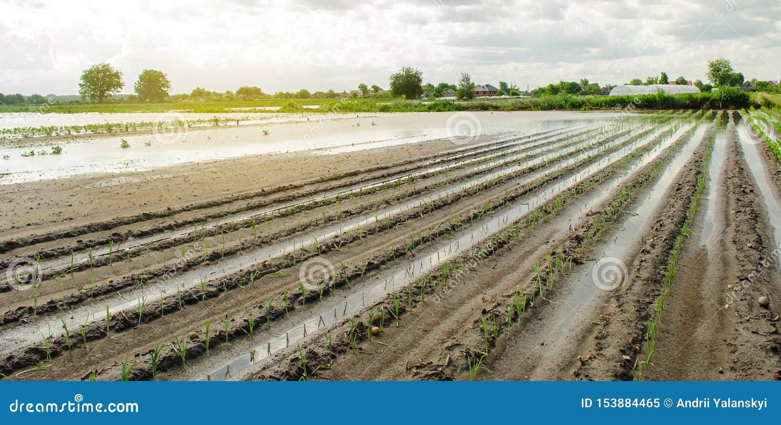 Затопленное поле в результате стихийного бедствия Тяжелые осадки и затоплять Повреждение к земледелию Потерянные сельскохозяйстве