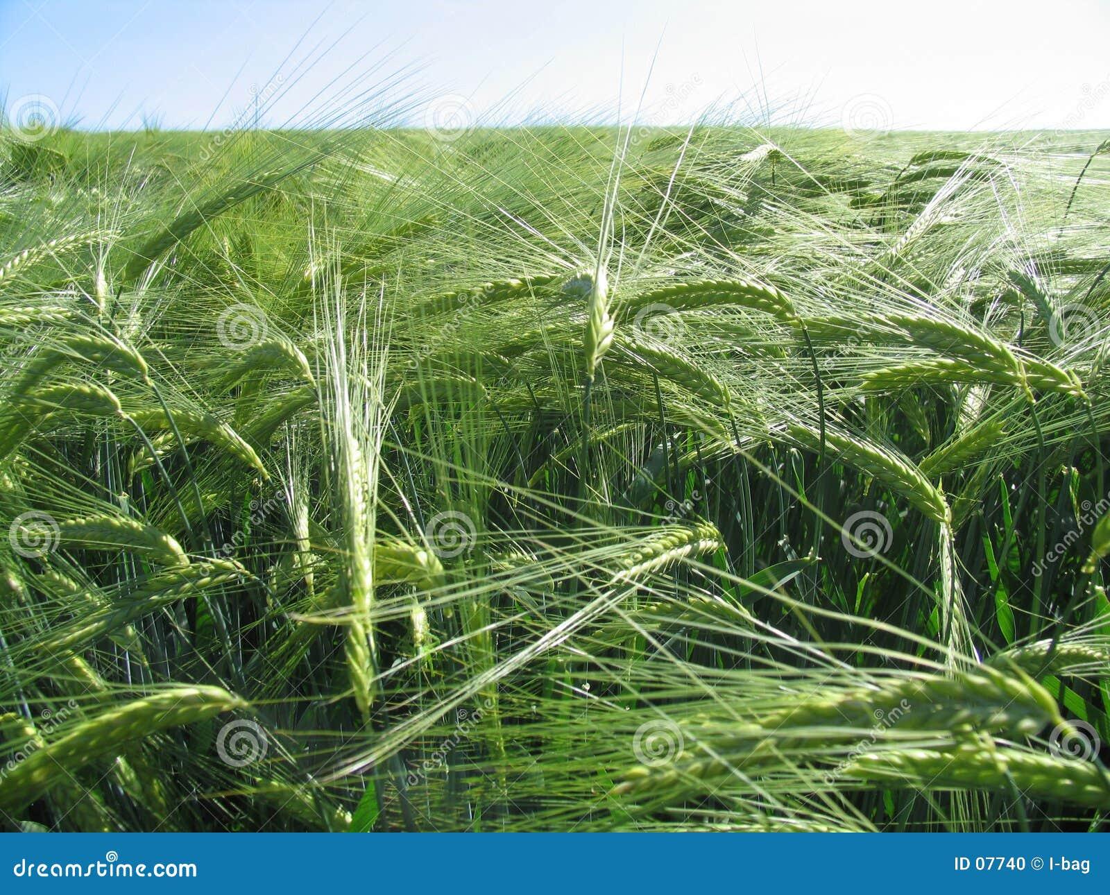заумная пшеница поля