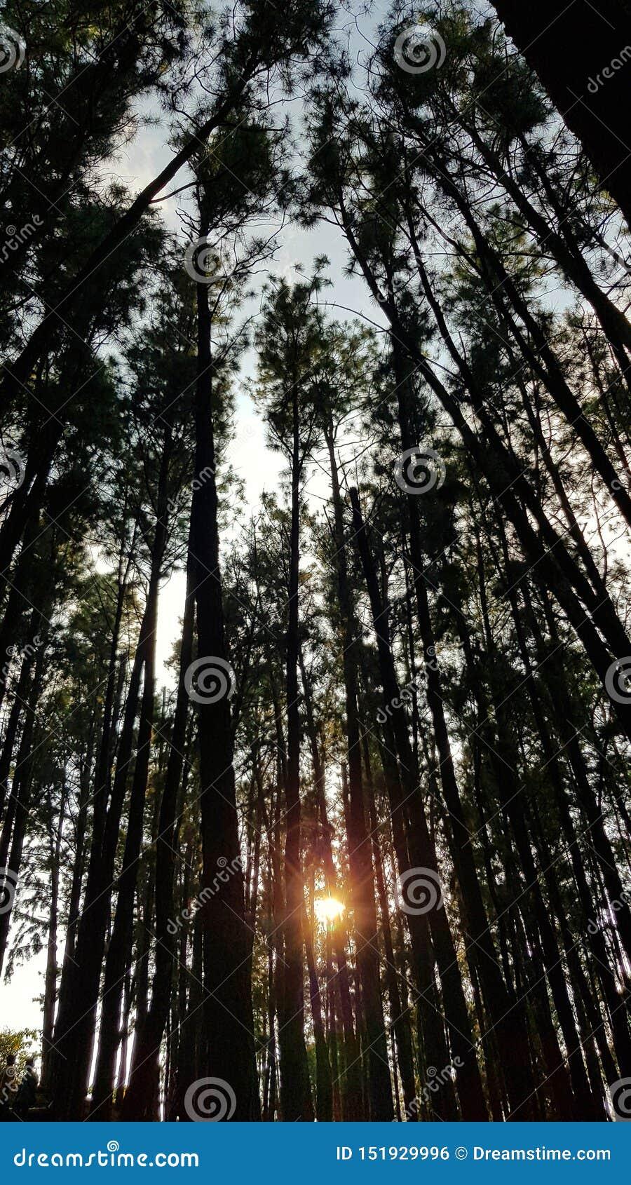 Заход солнца в сосновом лесе через деревья