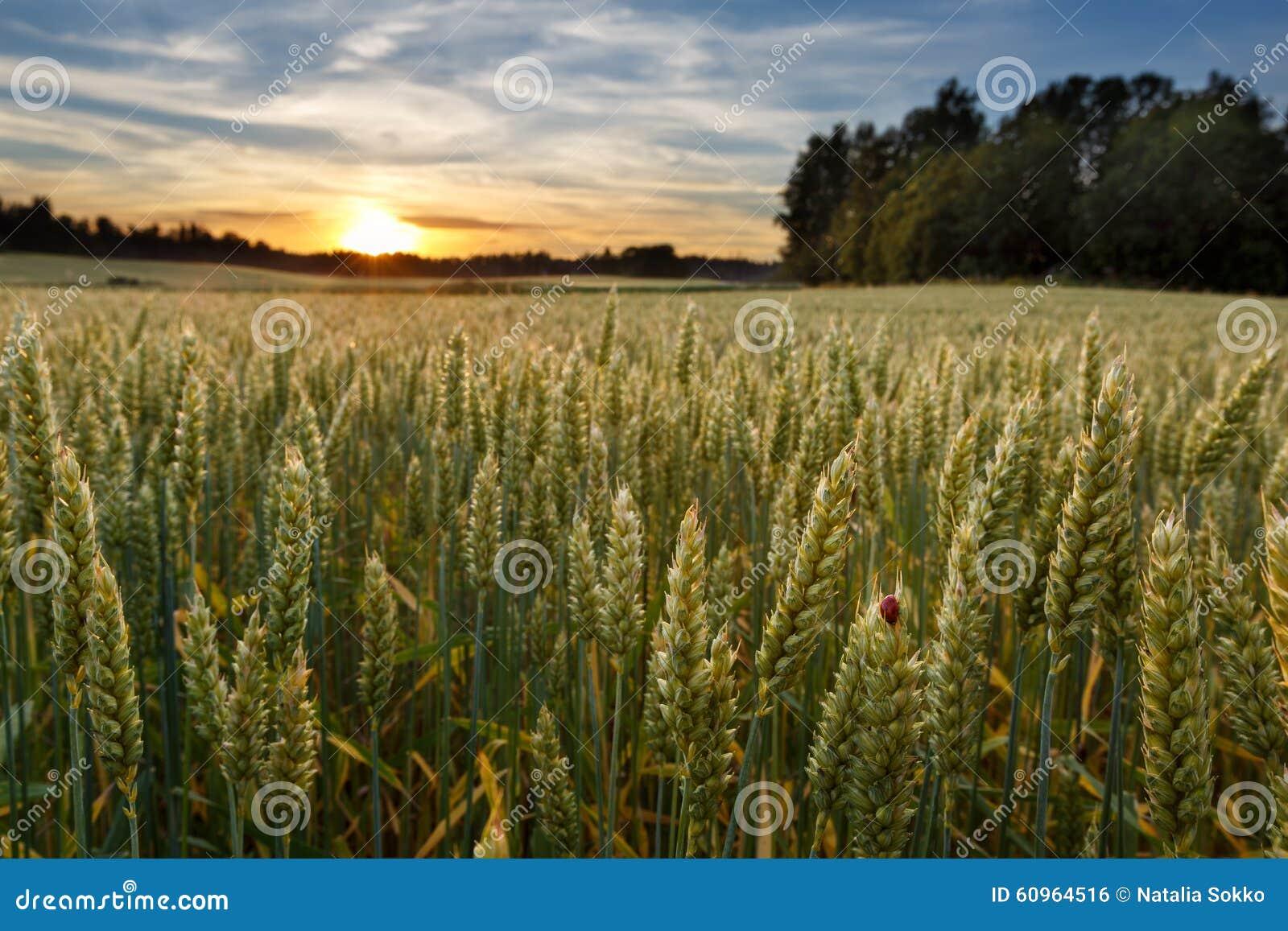 Заход солнца на пшеничном поле в Финляндии с ladybug