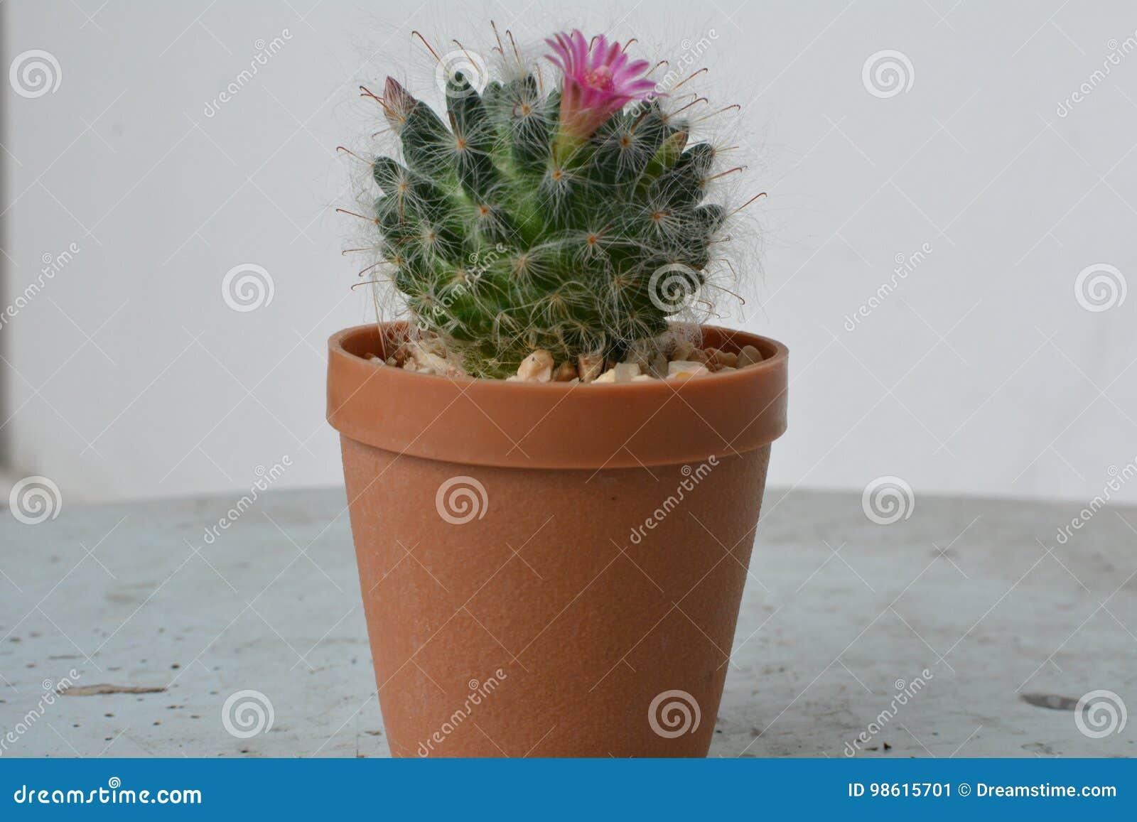 Зацветать кактуса красивый и приятный
