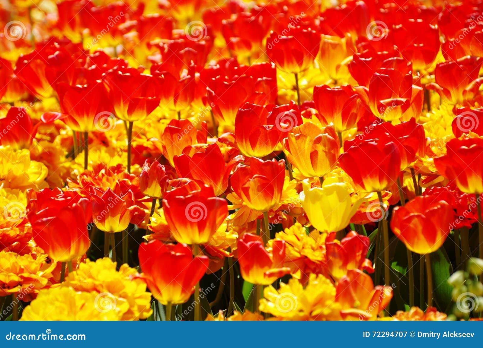 Download Зацветать красные и желтые тюльпаны Стоковое Изображение - изображение насчитывающей бело, как: 72294707