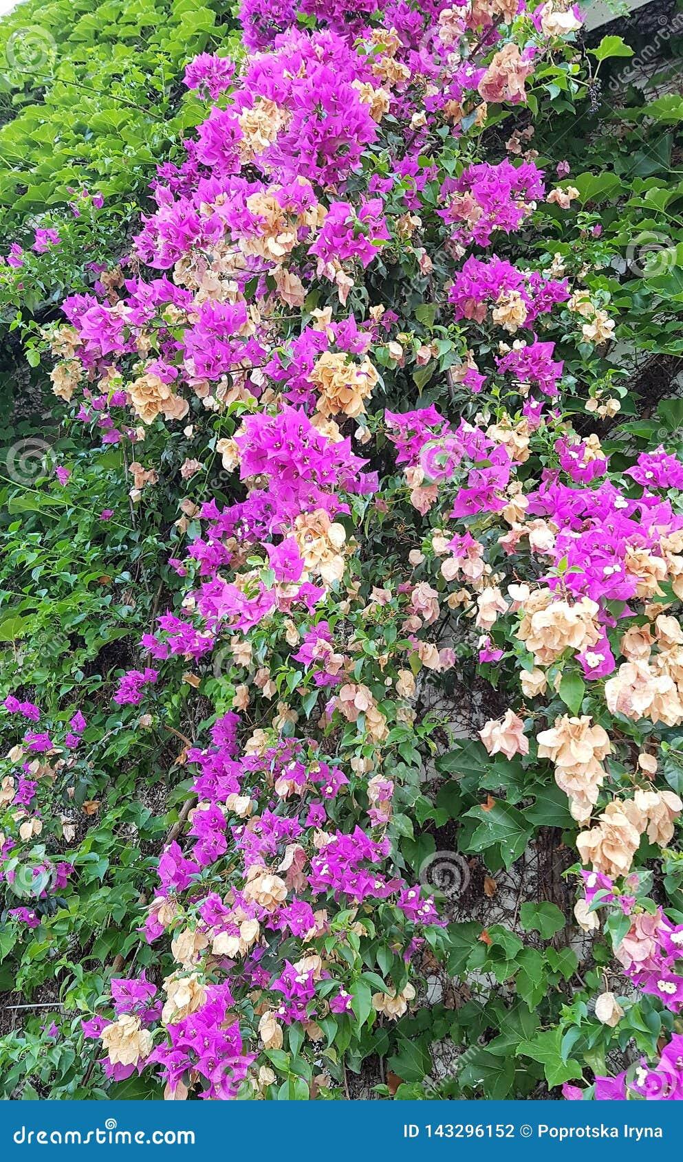 Зацветая бугинвилия в саде гостиницы, морском курорте Kemer, Турции