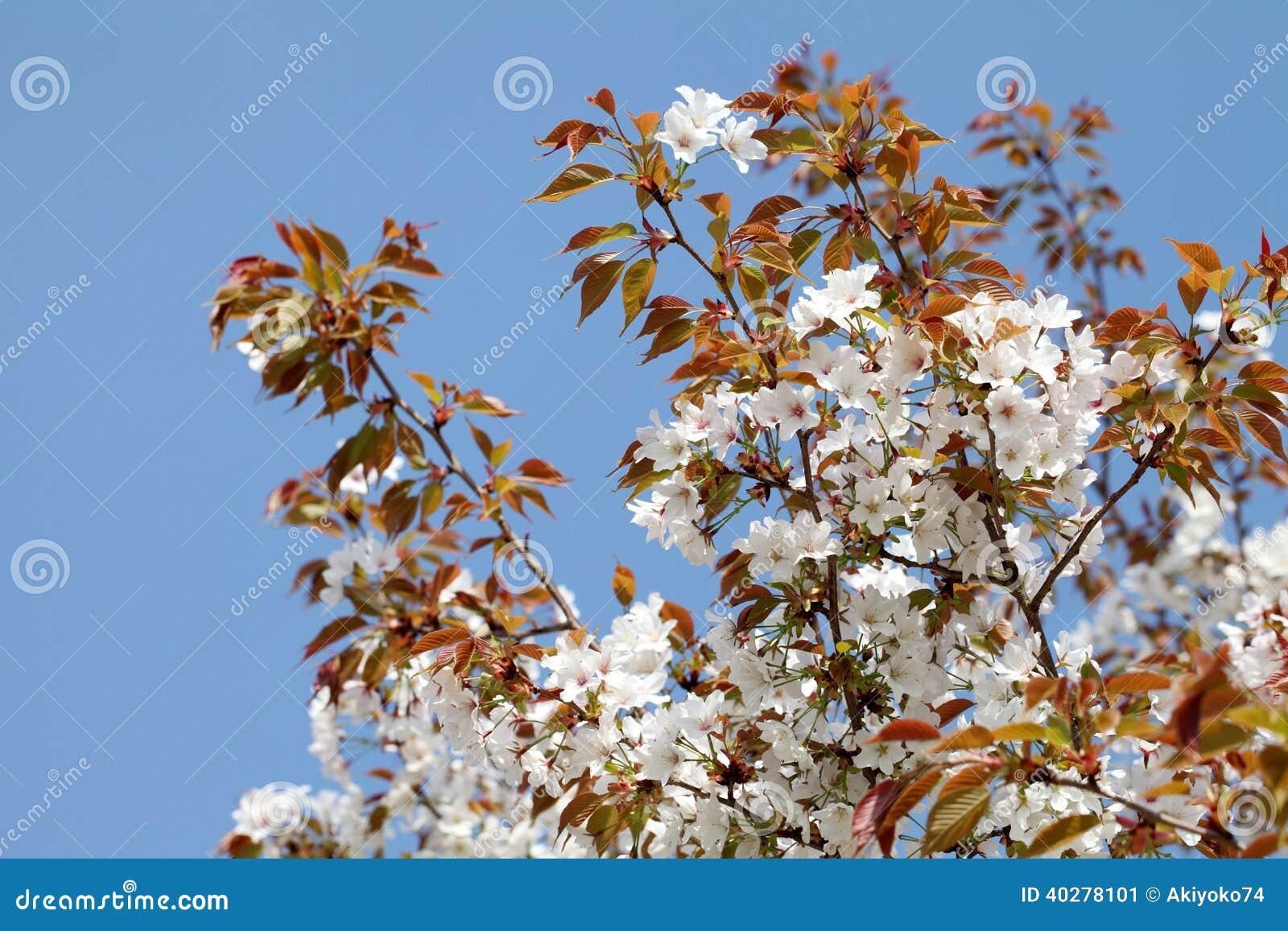 Зацветая вишневое дерево