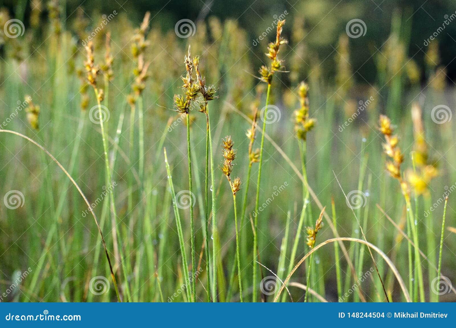 Зацветая желтая дикая трава на крае леса весной