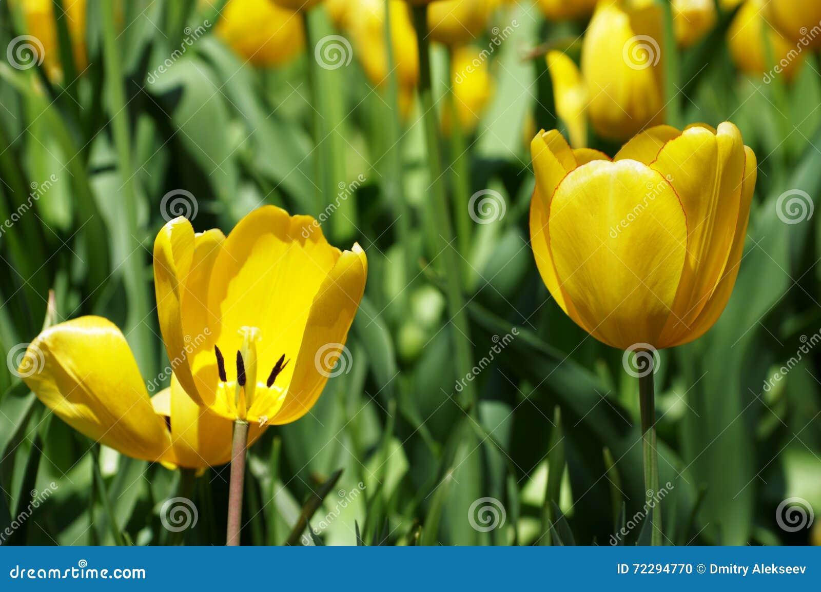 Download Зацветая желтые тюльпаны стоковое фото. изображение насчитывающей цветок - 72294770