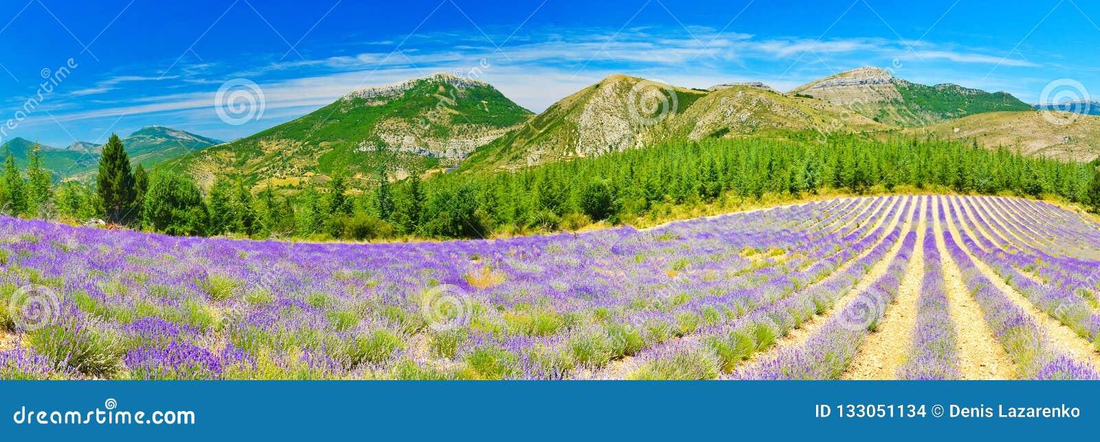 Зацветая лаванда в Альп, Провансаль, Франция