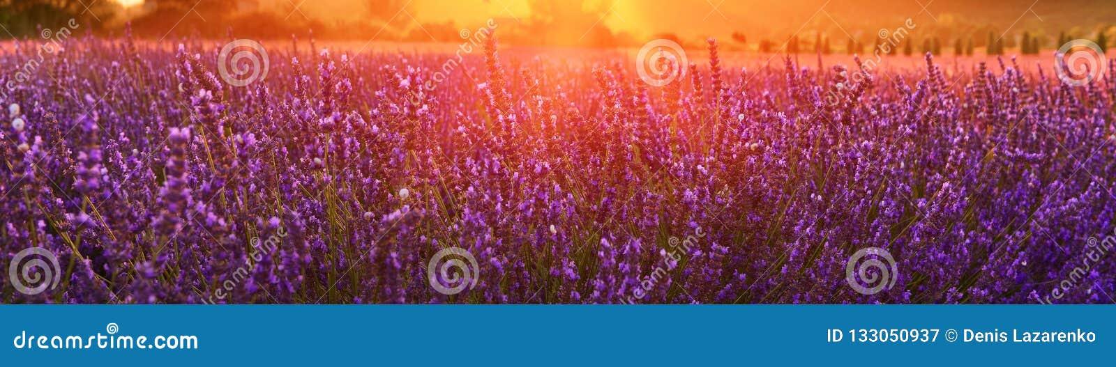 Зацветая лаванда летом на заходе солнца, Провансаль, Франция
