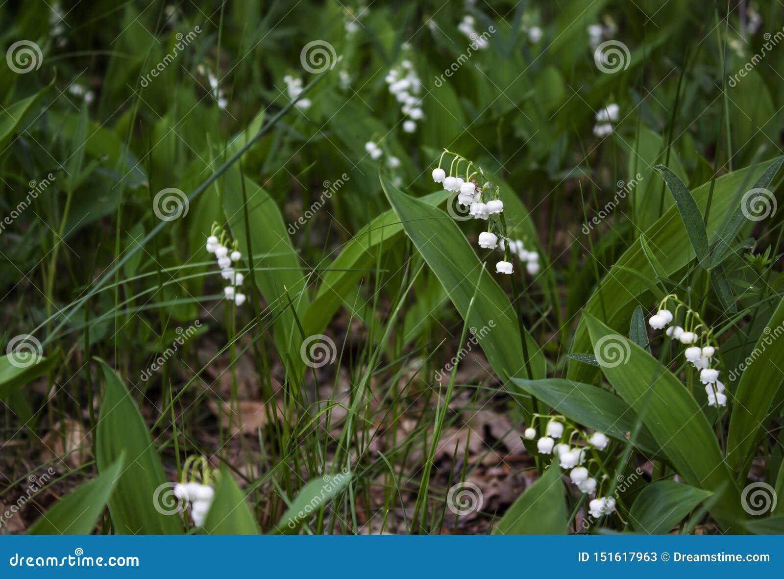 Зацветая лилии glade долины весной