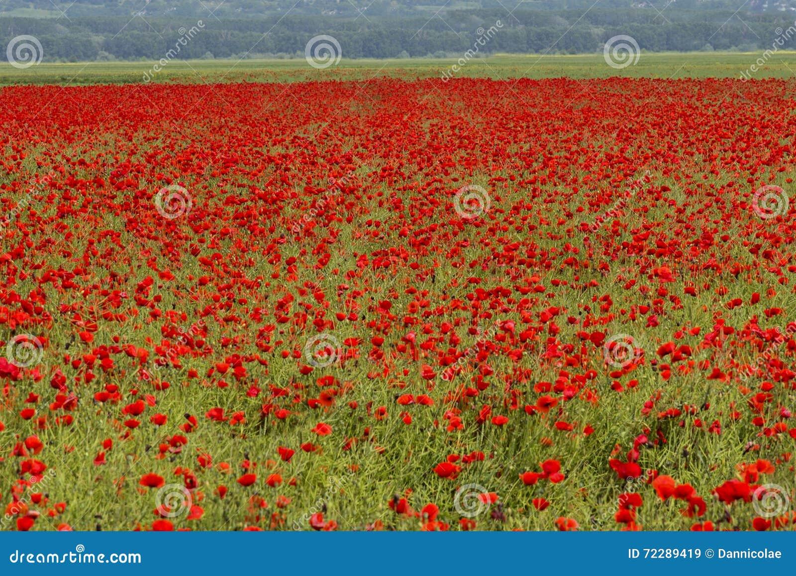 Download Зацветая поле мака большое с головами семени Стоковое Изображение - изображение насчитывающей цветасто, ясность: 72289419