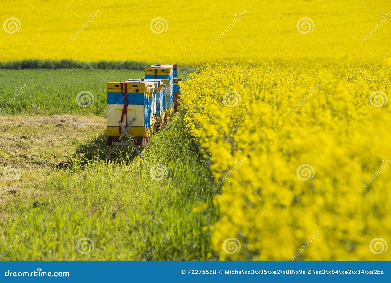 Download Зацветая поля рапса стоковое фото. изображение насчитывающей аграрным - 72275558