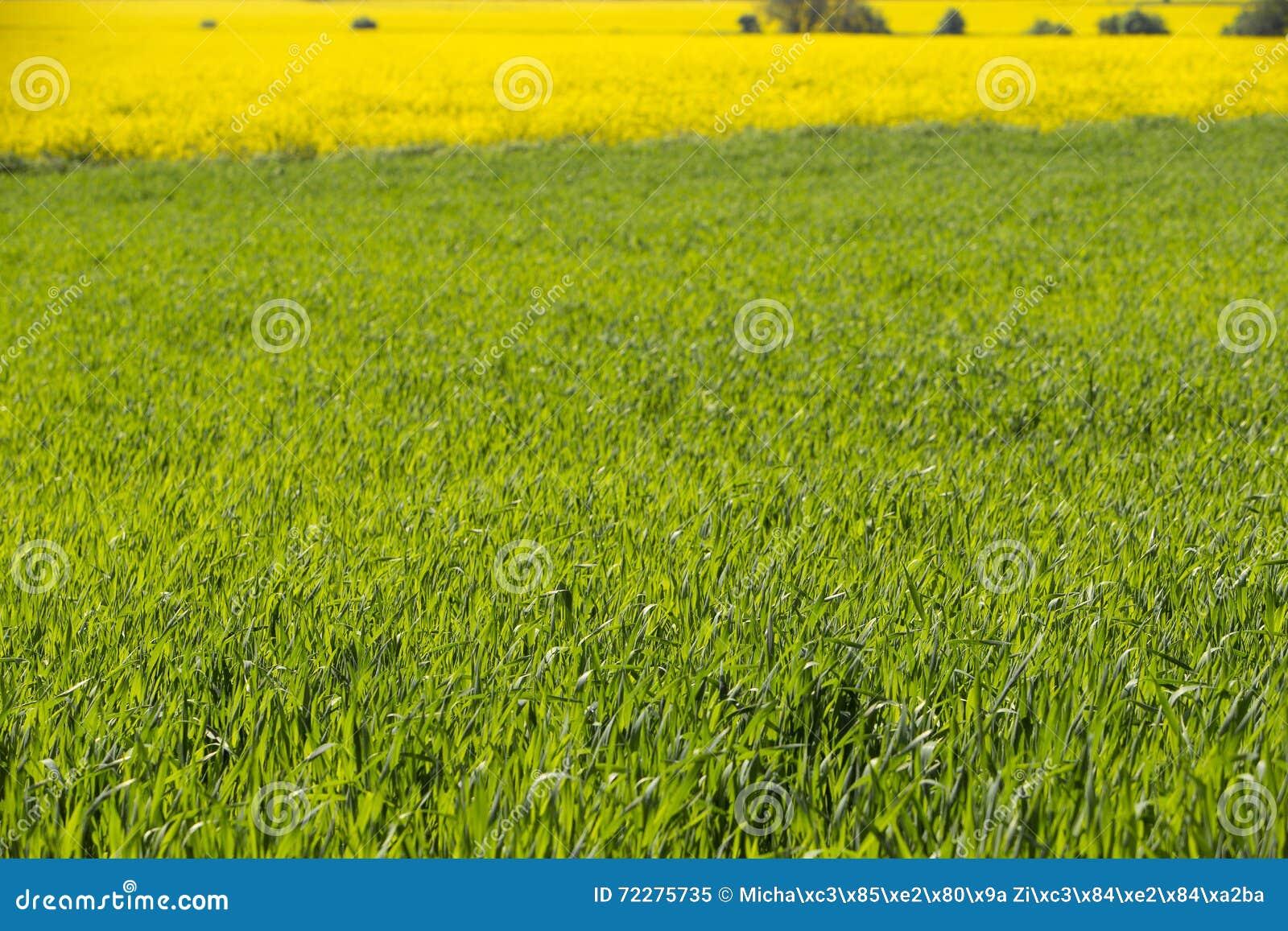 Download Зацветая поля рапса стоковое изображение. изображение насчитывающей ландшафт - 72275735