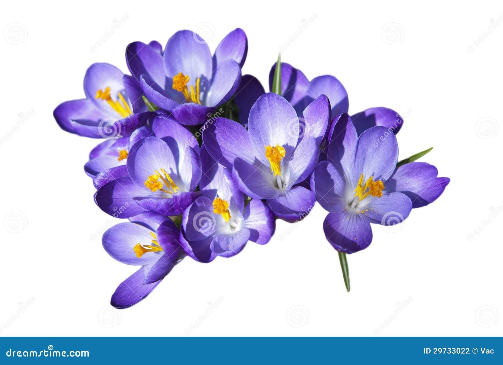 Цветки крокуса