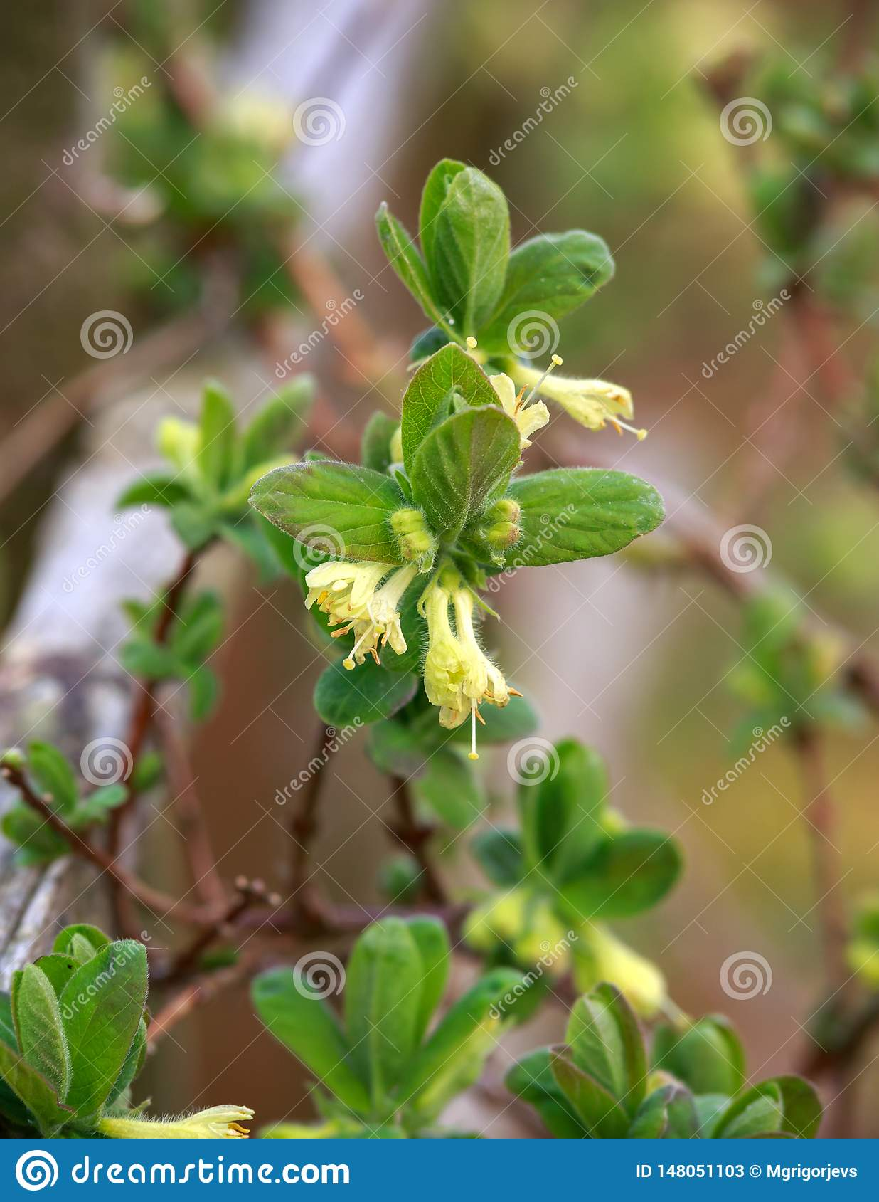 Зацветая сад цветков каприфолия весной Куст caerulea Lonicera
