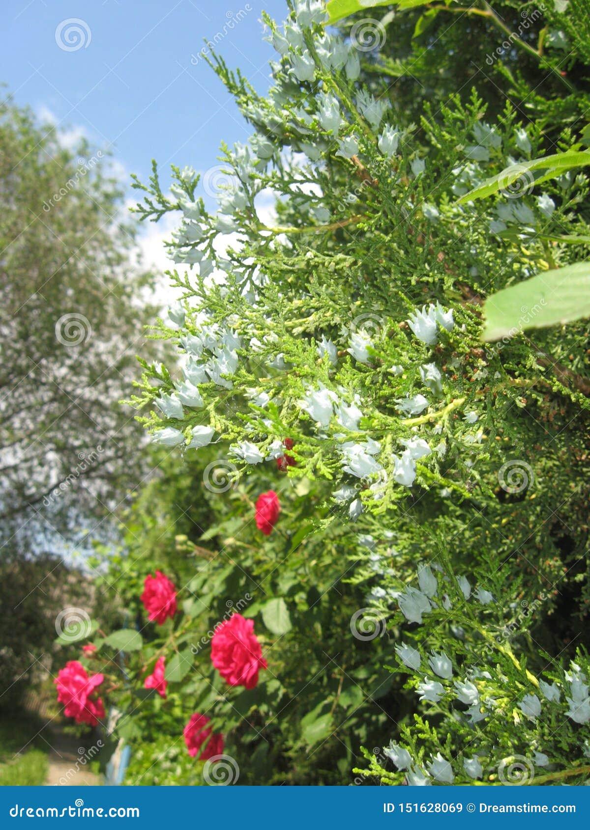 Зацветая туя Малиновые розы Зеленая изгородь в саде r Голубое небо в облаках
