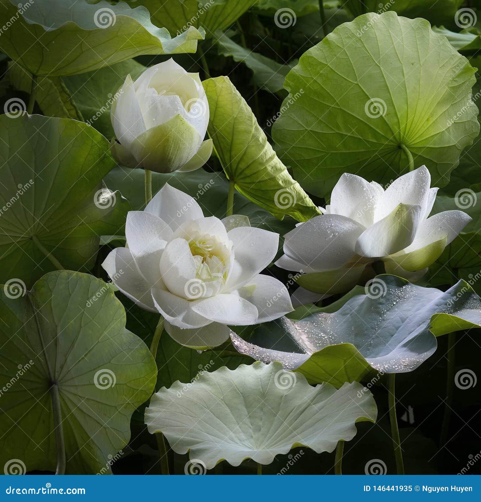 Зацветая цветки лотоса чередуют зеленые листья