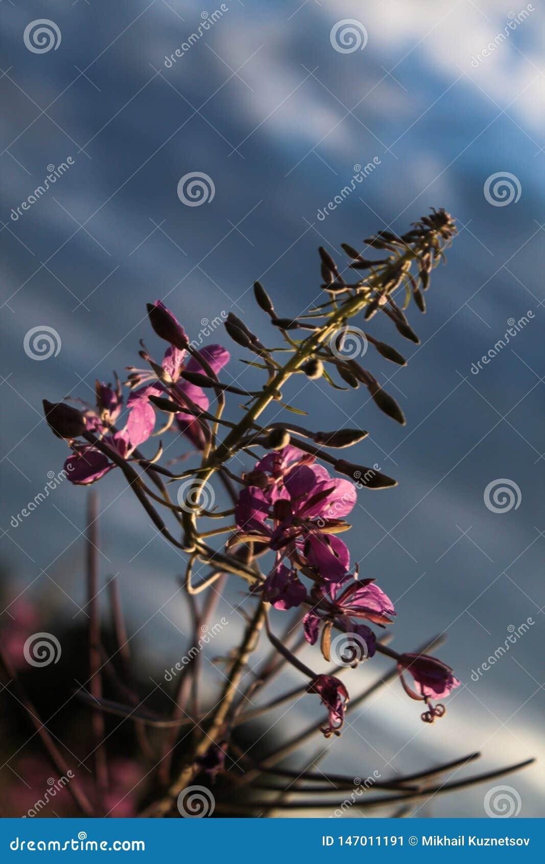 Зацветая цветки Салли или fireweed красивые розовые в саде лета
