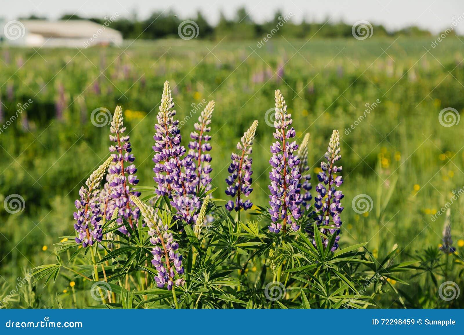 Download Зацветая цветки люпинов в заходе солнца лета Стоковое Изображение - изображение насчитывающей outdoors, environment: 72298459