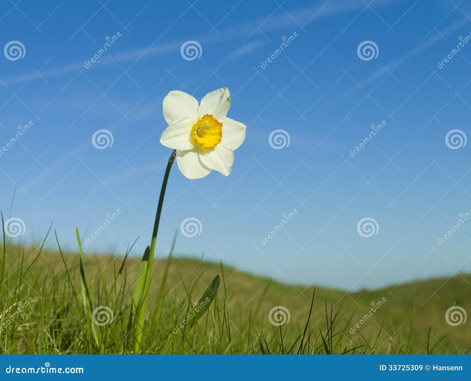 Зацветая daffodil