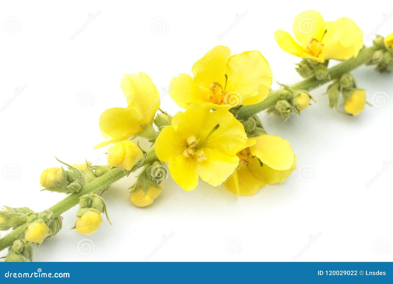 Зацветая thapsus Verbascum с желтыми цветками, большим mullein или общим mullein, изолированным на белой предпосылке