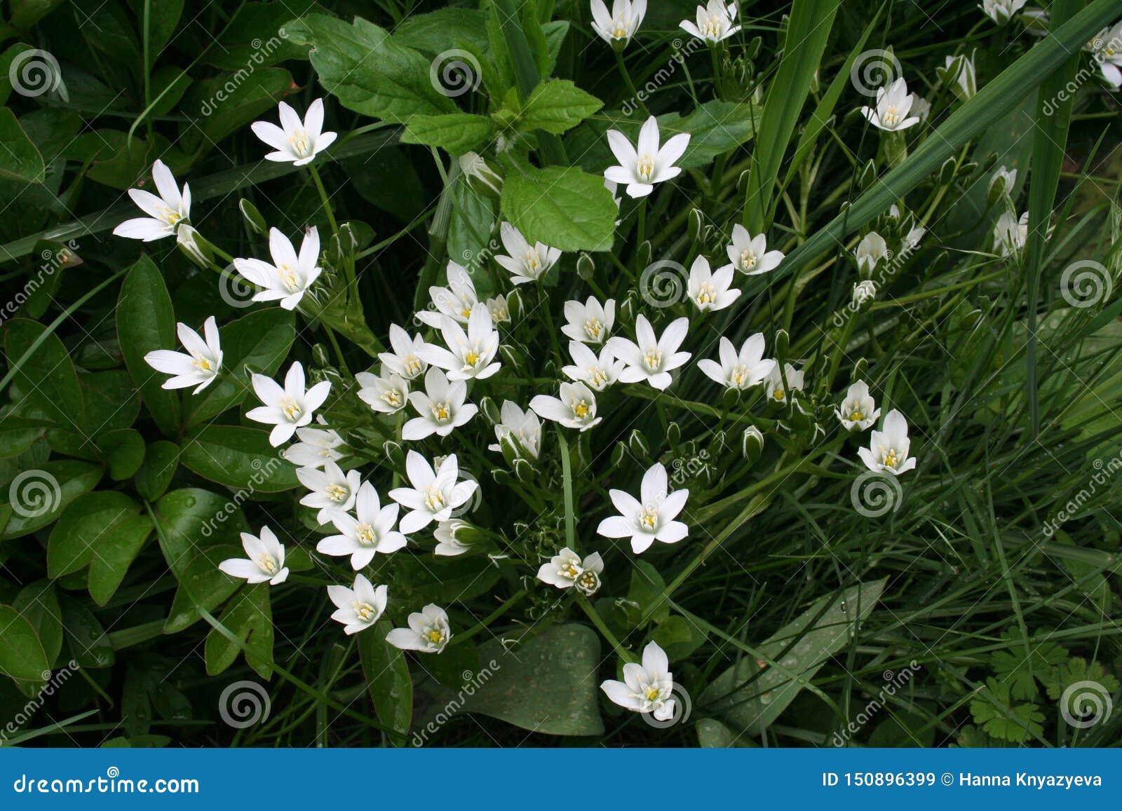 Звезд--Вифлеем цветет полу-открытое