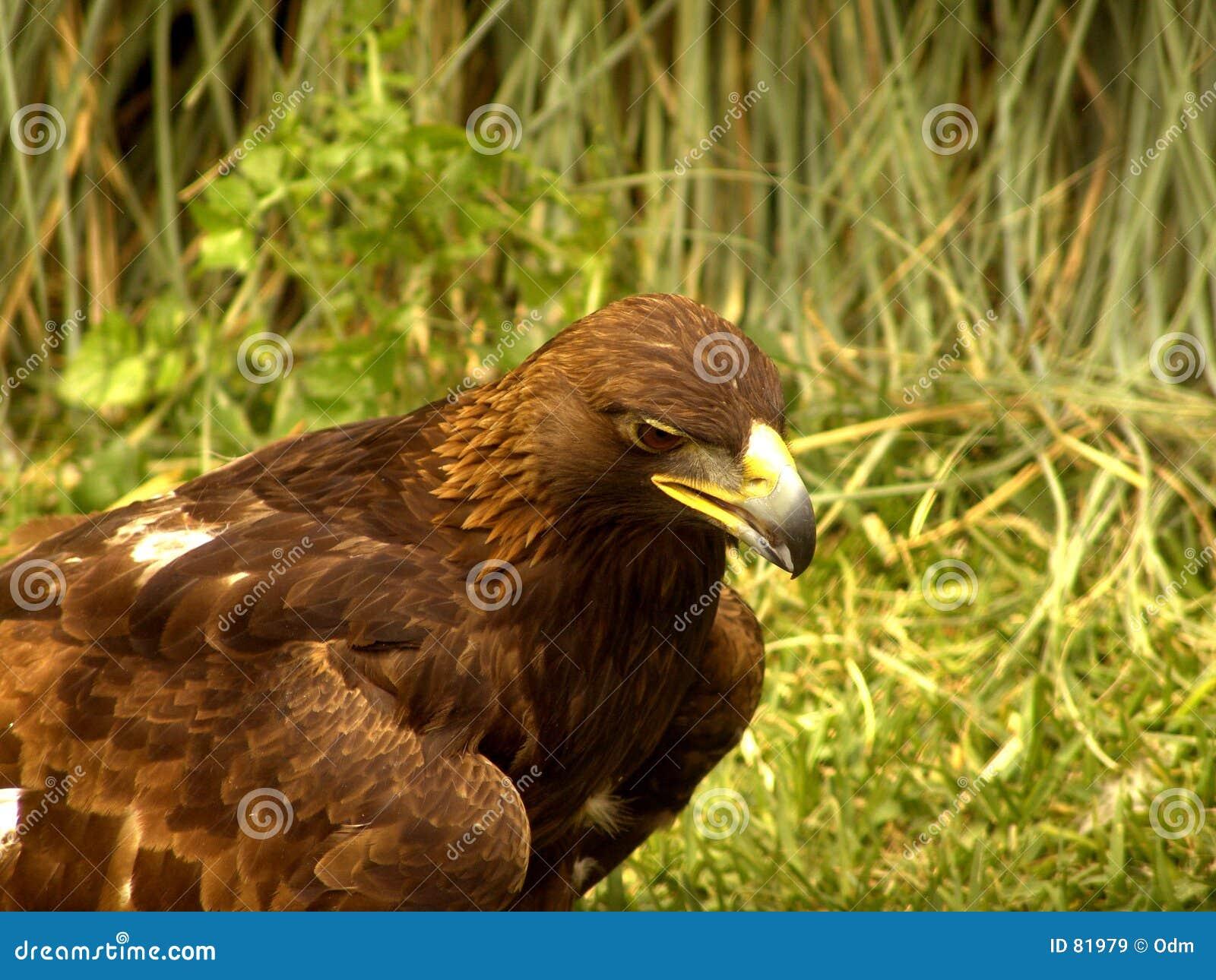 звероловство орла реальное