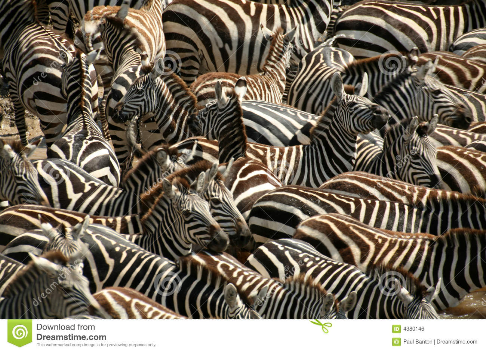 зебра Кении
