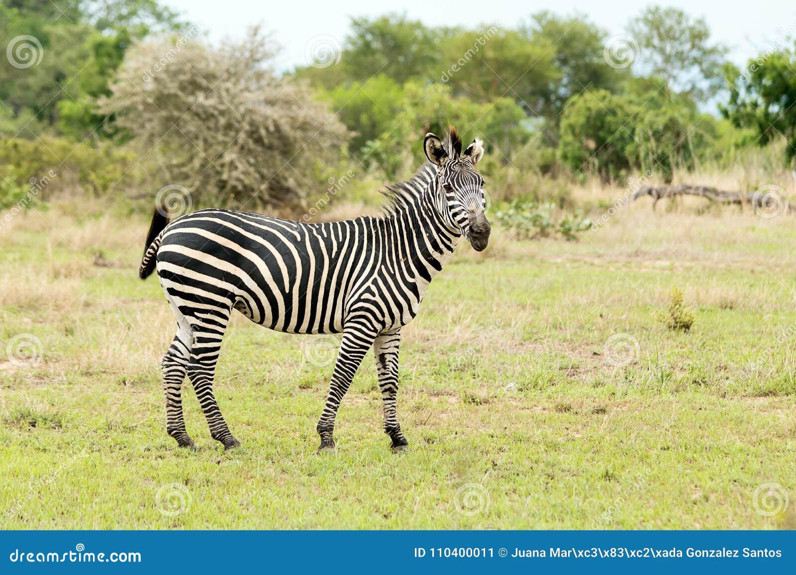Зебра на сафари