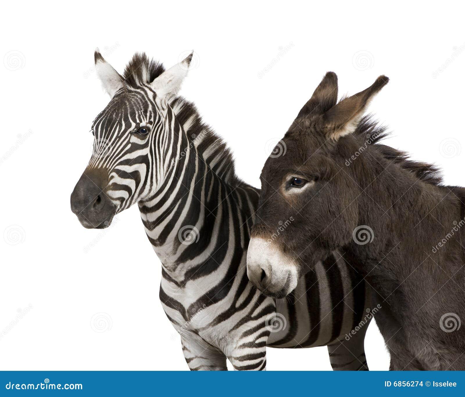 зебра 4 лет осла