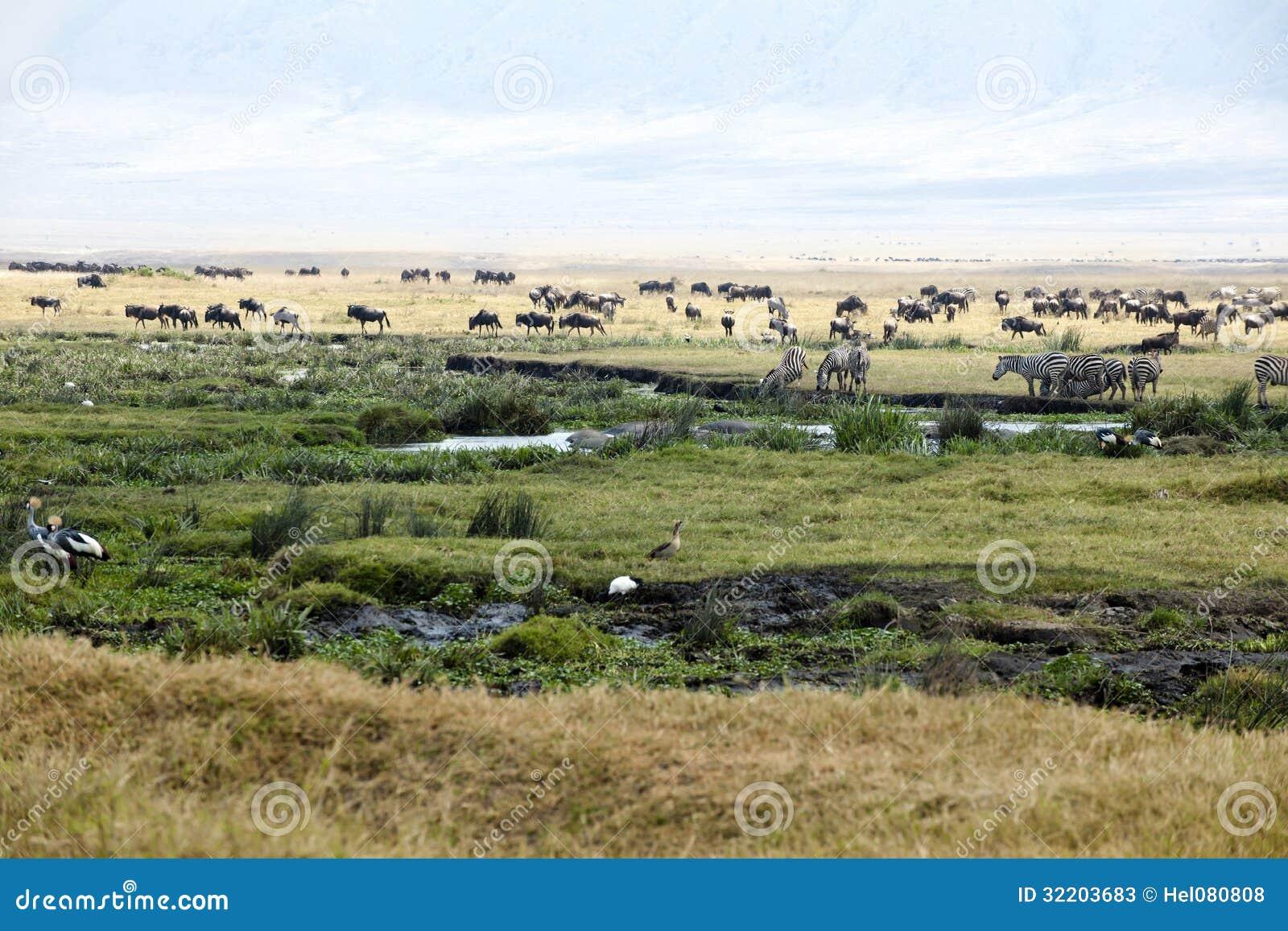 Зебры, гну, гиппопотамы, птицы на кратере Ngorongoro