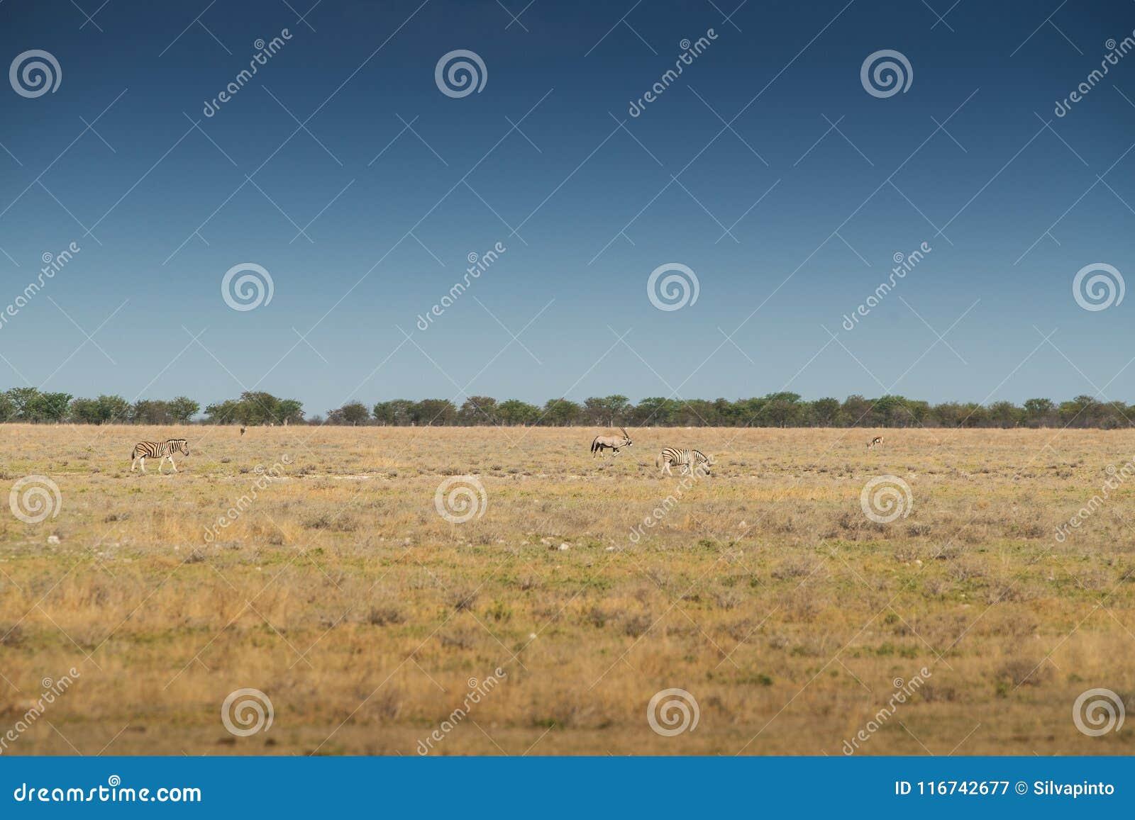 Зебры и почёт, который нужно идти на саванну Etosha вышесказанного