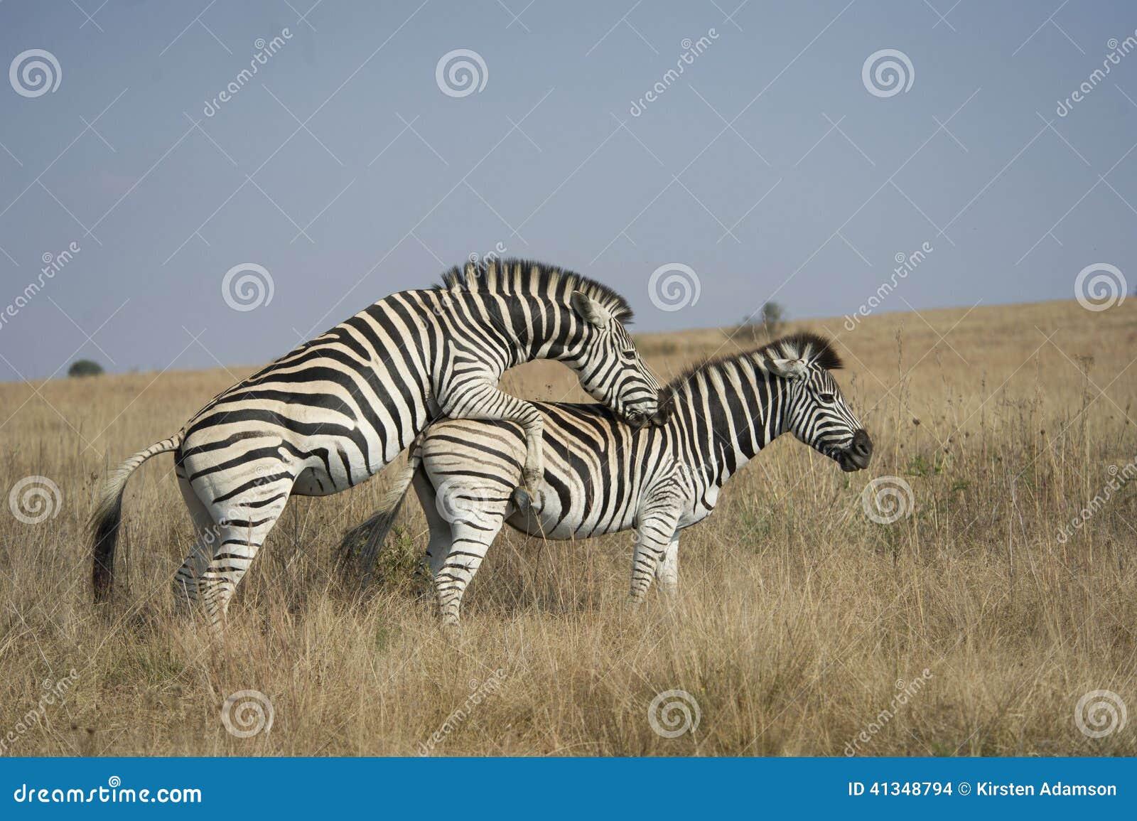 Секс африканской зебры