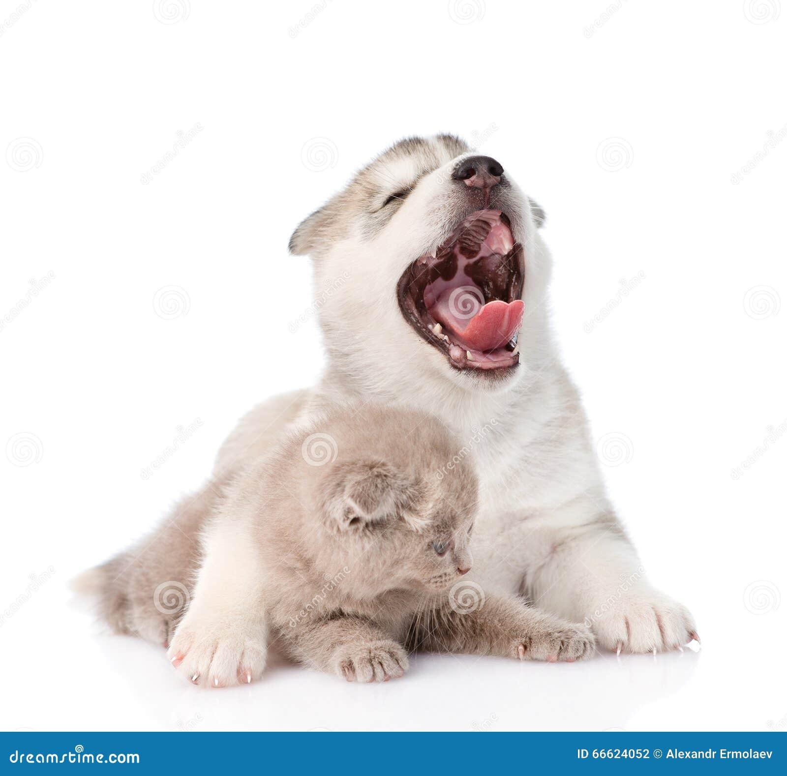 Зевая кот обнимать собаки щенка сибирской лайки малый шотландский изолировано