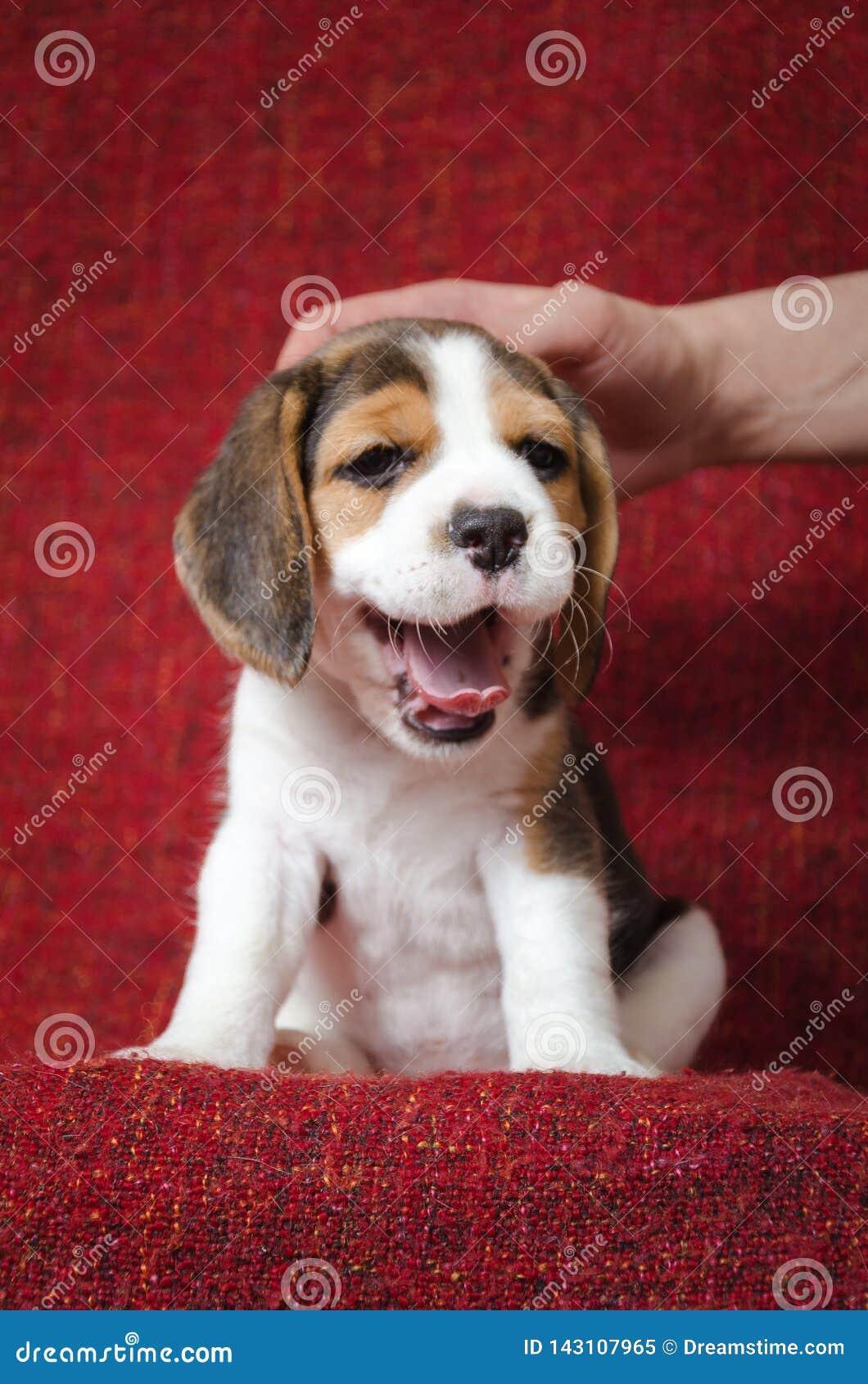 Зевая щенок бигля на красной предпосылке