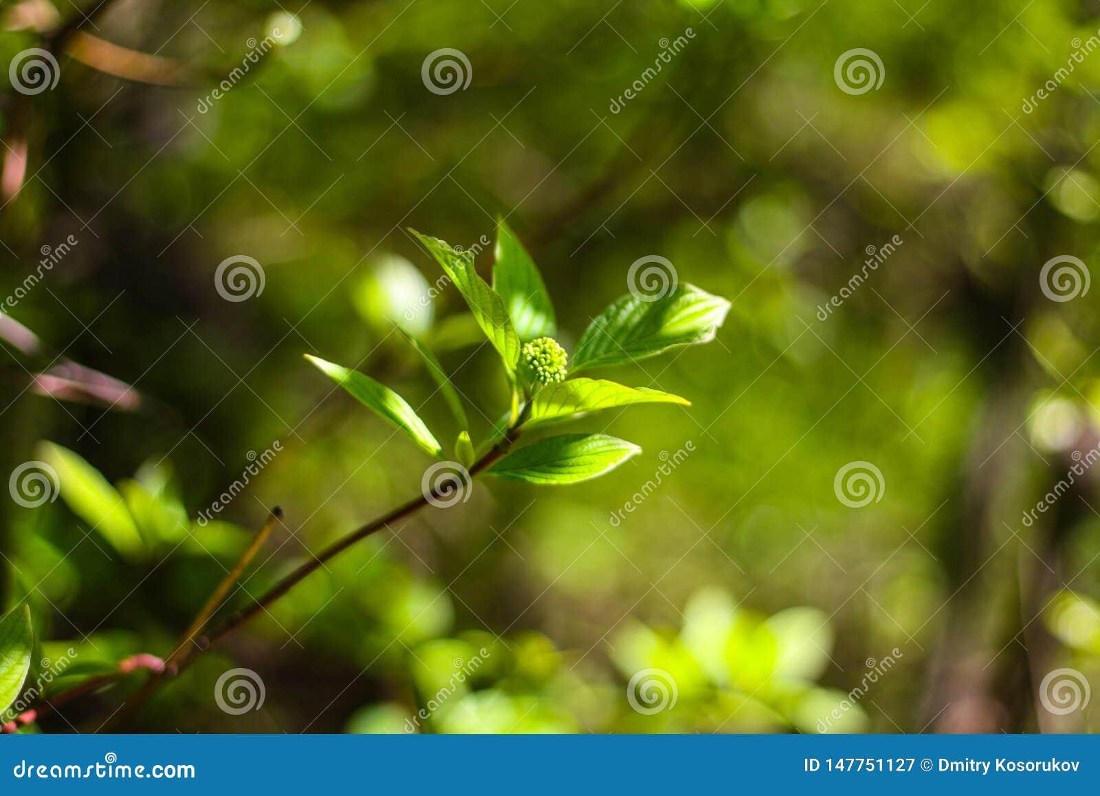 Зеленая ветвь Буша с листьями