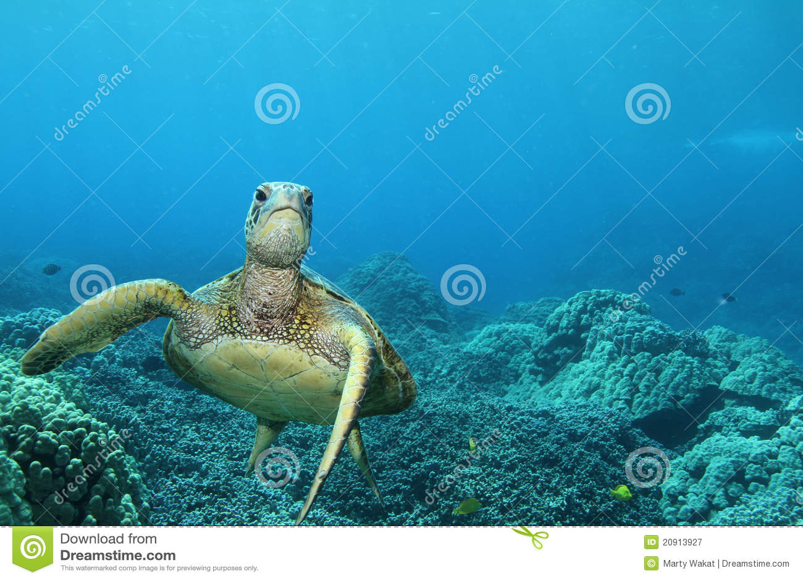 зеленая гаваиская черепаха моря