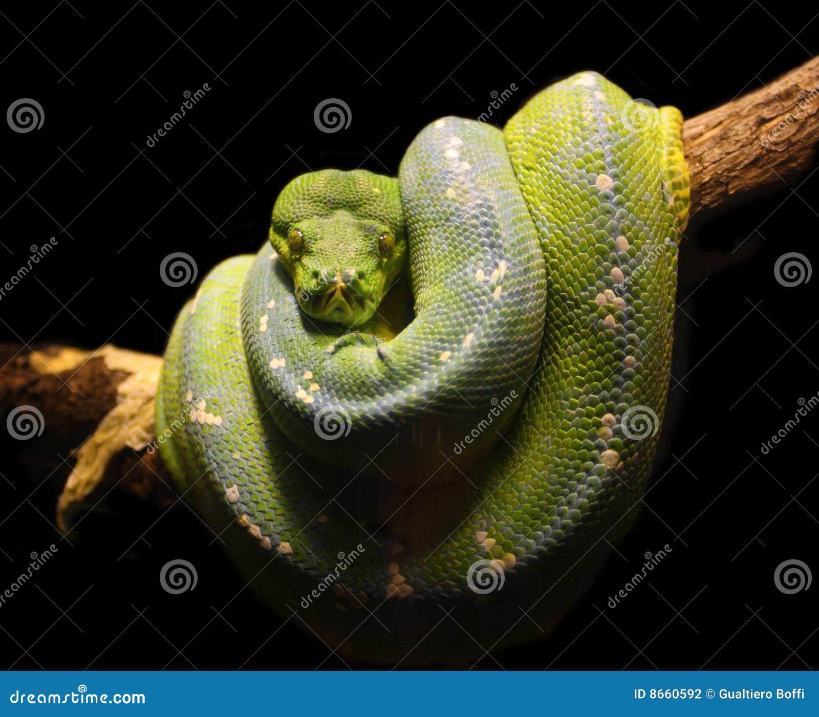 Фото кобра крупным планом 18 фотография