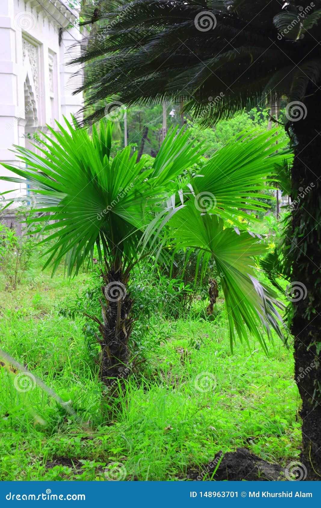 Зеленая красивая пальма Длинное дерево финиковой пальмы хобота Даты на пальме Ветви ладони дат со зрелыми датами Пук дат barhi