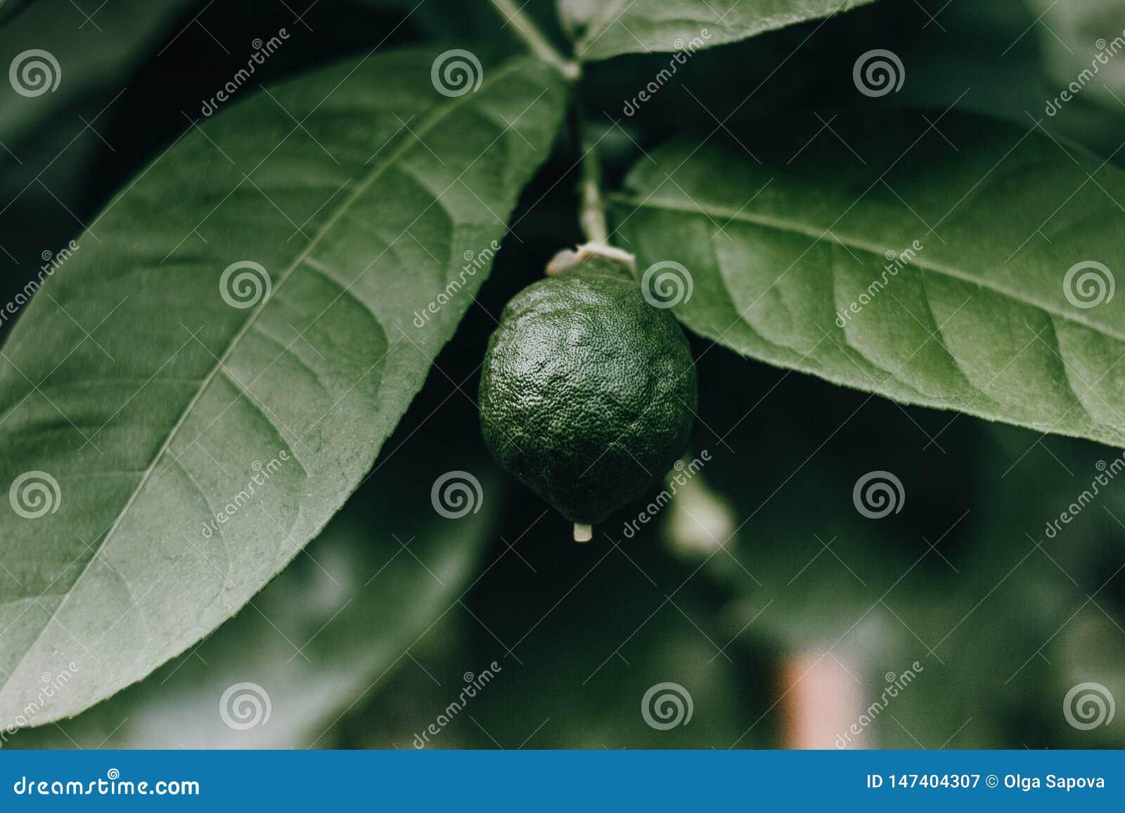 Зеленая природа плода лимона макроса известки
