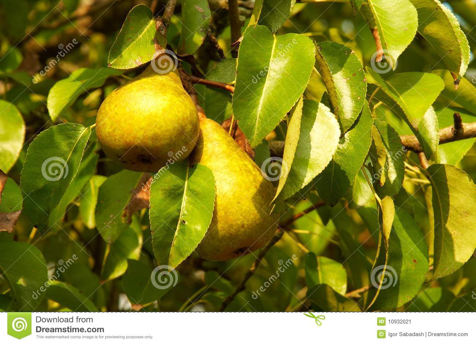 зеленое грушевое дерев дерево