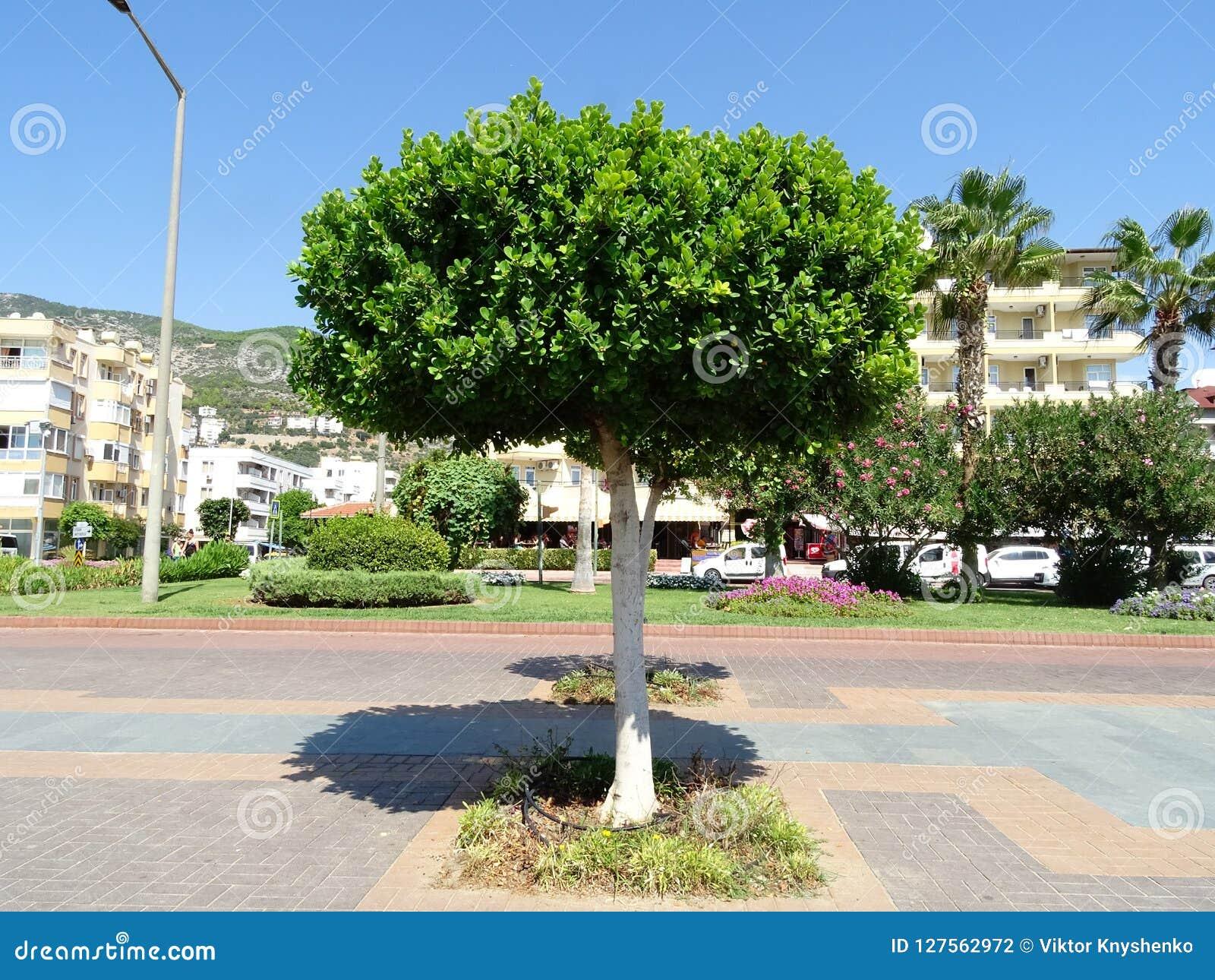 Зеленое дерево в полдень на юге