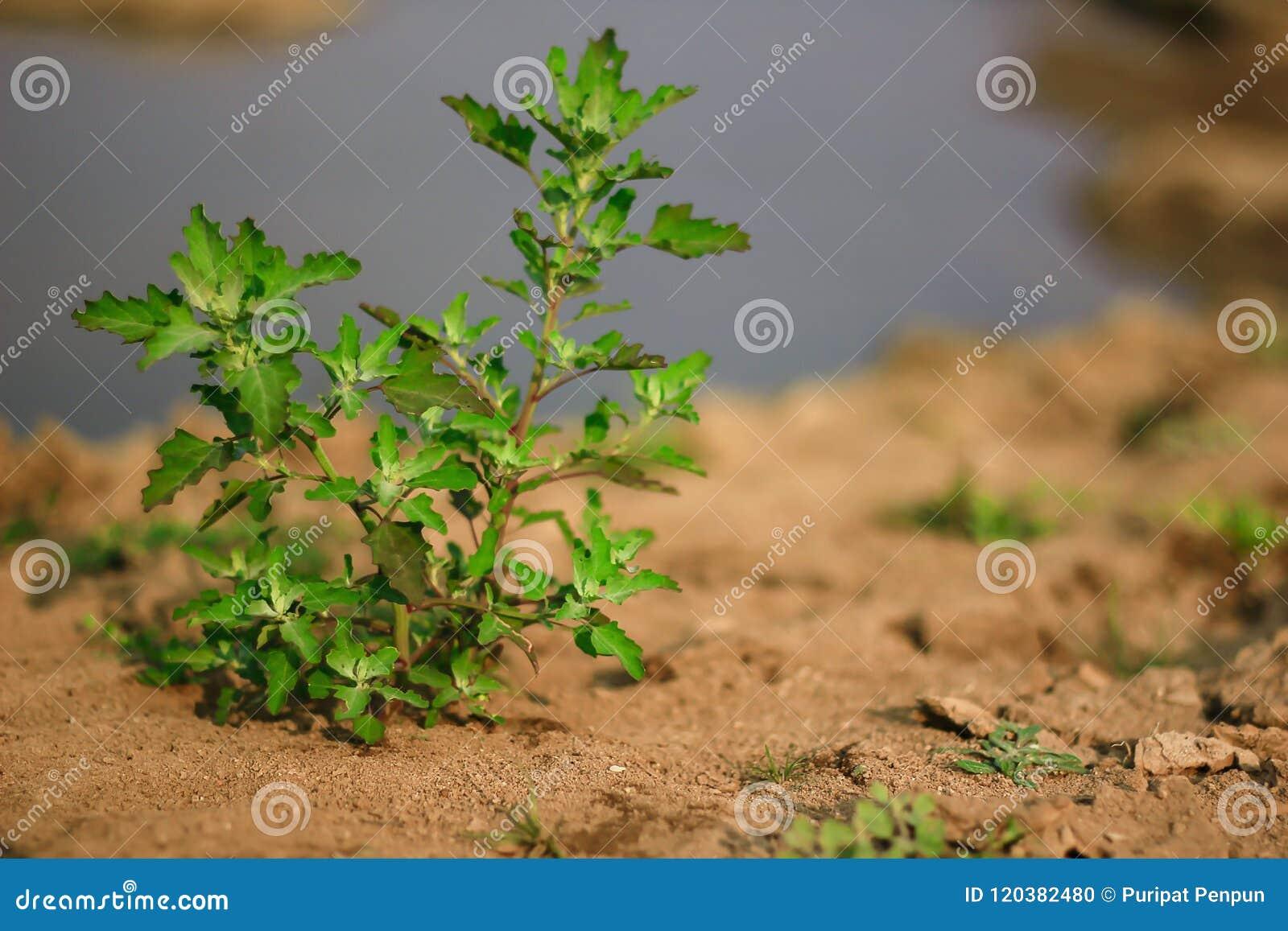 Зеленое дерево на сухой почве