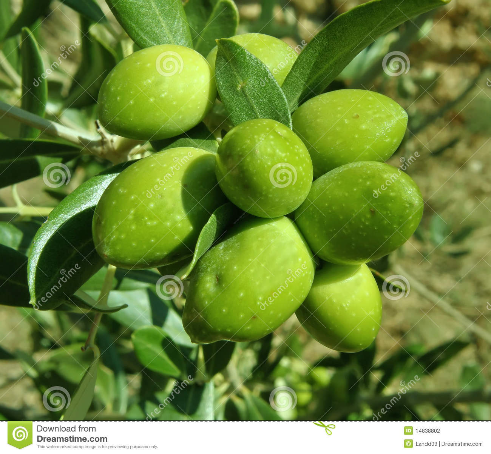зеленое оливковое дерево