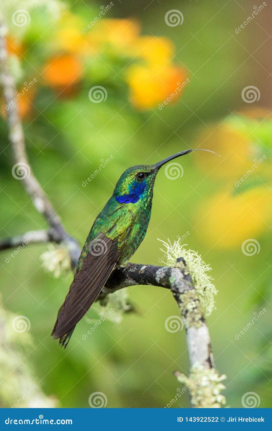 Зеленое фиолетов-ухо сидя на ветви, колибри от тропического леса, эквадора, птицы садясь на насест, крошечной птицы отдыхая в тро