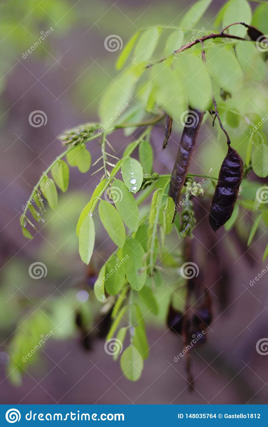 Зеленые ветви акации после дождя