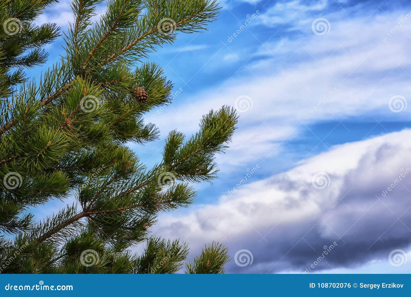 Зеленые ветви сосны против голубого неба