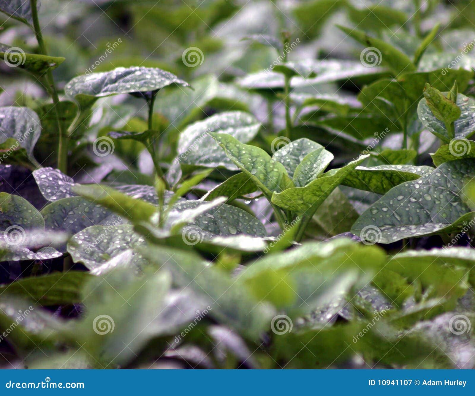 Зеленые листья овоща